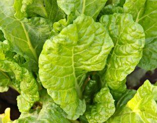 farming-vegetables-in-kakamega-county