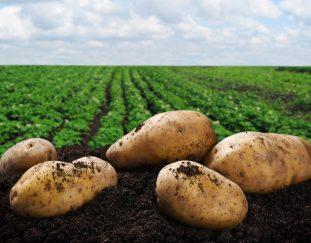 rains-looming-potato-shortage