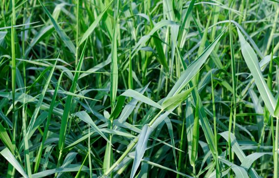 drought-tolerant-grass-that-will-help-farmers-increase-milk-production