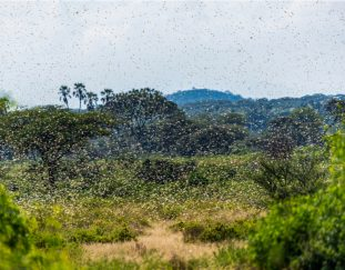 locust-invasion-threatens-food-security-in-asal-counties