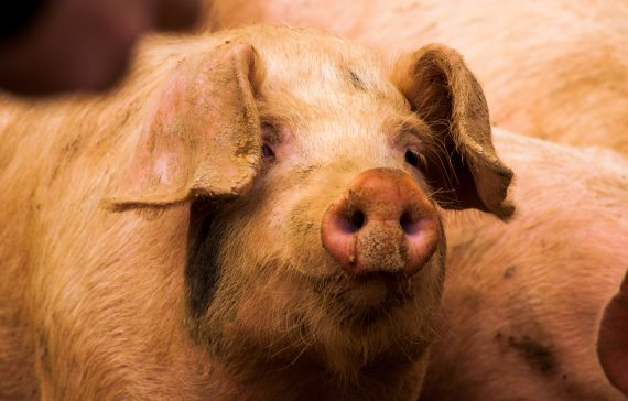 the-fine-print-of-pig-farming-and-its-profit-margins