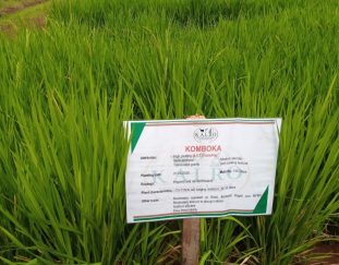 kenyan-farmers-to-benefit-from-newly-launched-komboka-rice