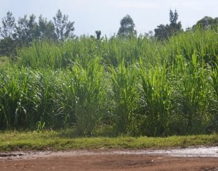 farmers-pleased-with-current-sony-sugar-mill-status