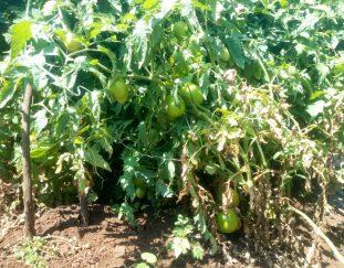 tomato-farmers-in-kajiado-decry-high-cost-of-fertilizers