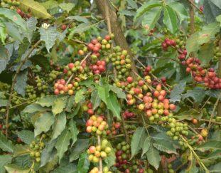organic-coffee-farming-earns-kirinyaga-farmer-a-fortune%e2%80%af