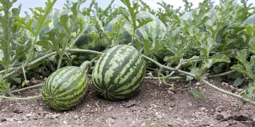 my-journey-to-happiness-through-watermelon-farming