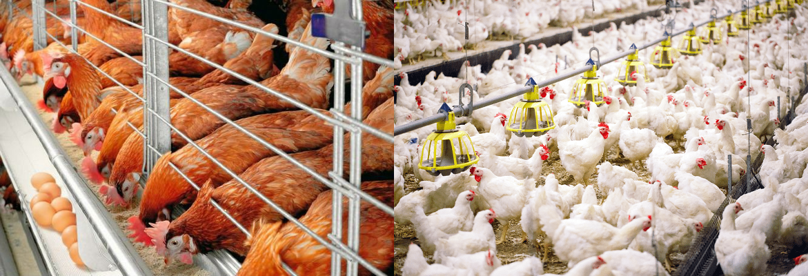should-you-choose-deep-litter-or-cage-system-for-poultry-farming