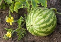 Watermelon Farming, My Multimillion Venture