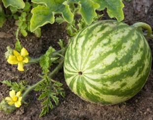 watermelon-farming-my-multimillion-venture