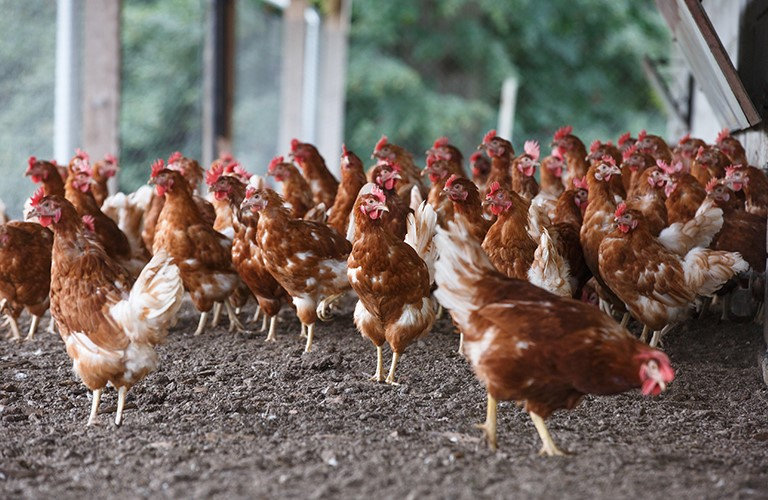 how-poultry-farmers-can-make-extra-cash-by-turning-waste-into-cattle-feed