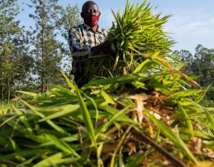doubles-income-for-dairy-farmers-through-climate-smart-fodder-grass