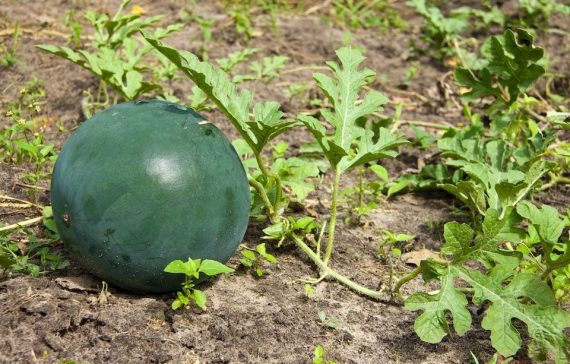 challenges-in-my-watermelon-farming-journey