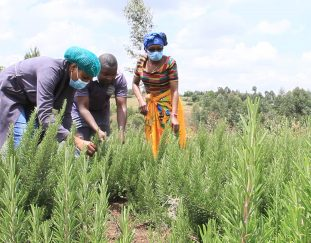 farmers-ditch-tomato-and-cabbage-farming-for-herbs
