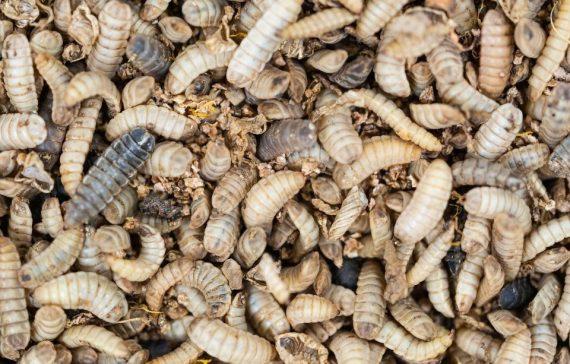 maggots-farming-the-untapped-goldmine