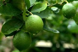 additional-benefits-of-a-lemon-fruits-besides-health