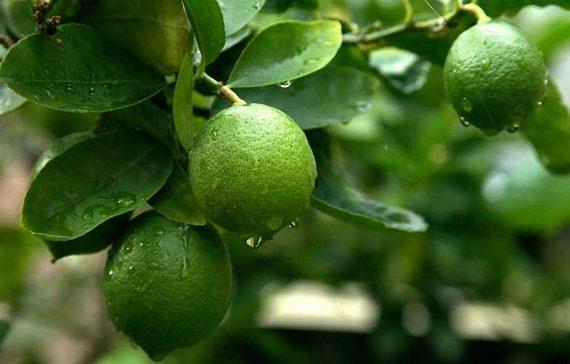 additional-benefits-of-a-lemon-fruits-besides-health