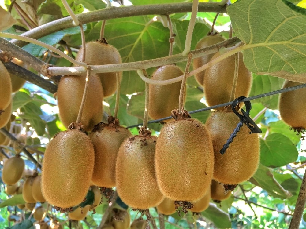 kiwi-the-promissory-fruit-for-early-retirees
