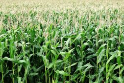 maize-importers-to-present-afa-imis-certificate-for-clearance-at-border